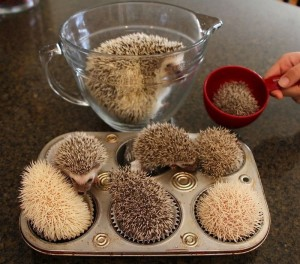 Six baby hedgehogs curled up in cupcake tins, one in a measuring cup, with a larger hedgehog in a glass measuring jug